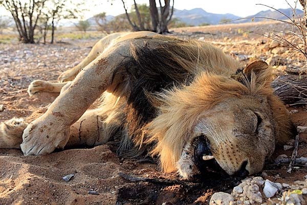 """""""Lions Facing Extinction,"""" Animal Rights Group Warns"""